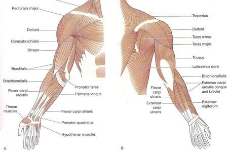 muscoli