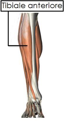 tibiale-anteriore